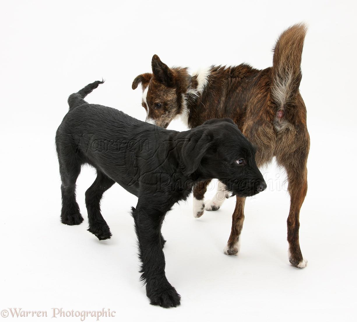 raised hackles dog