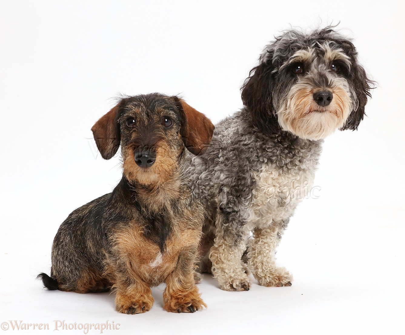 Daxie-doodle dog and wire-haired Dachshund photo WP43327