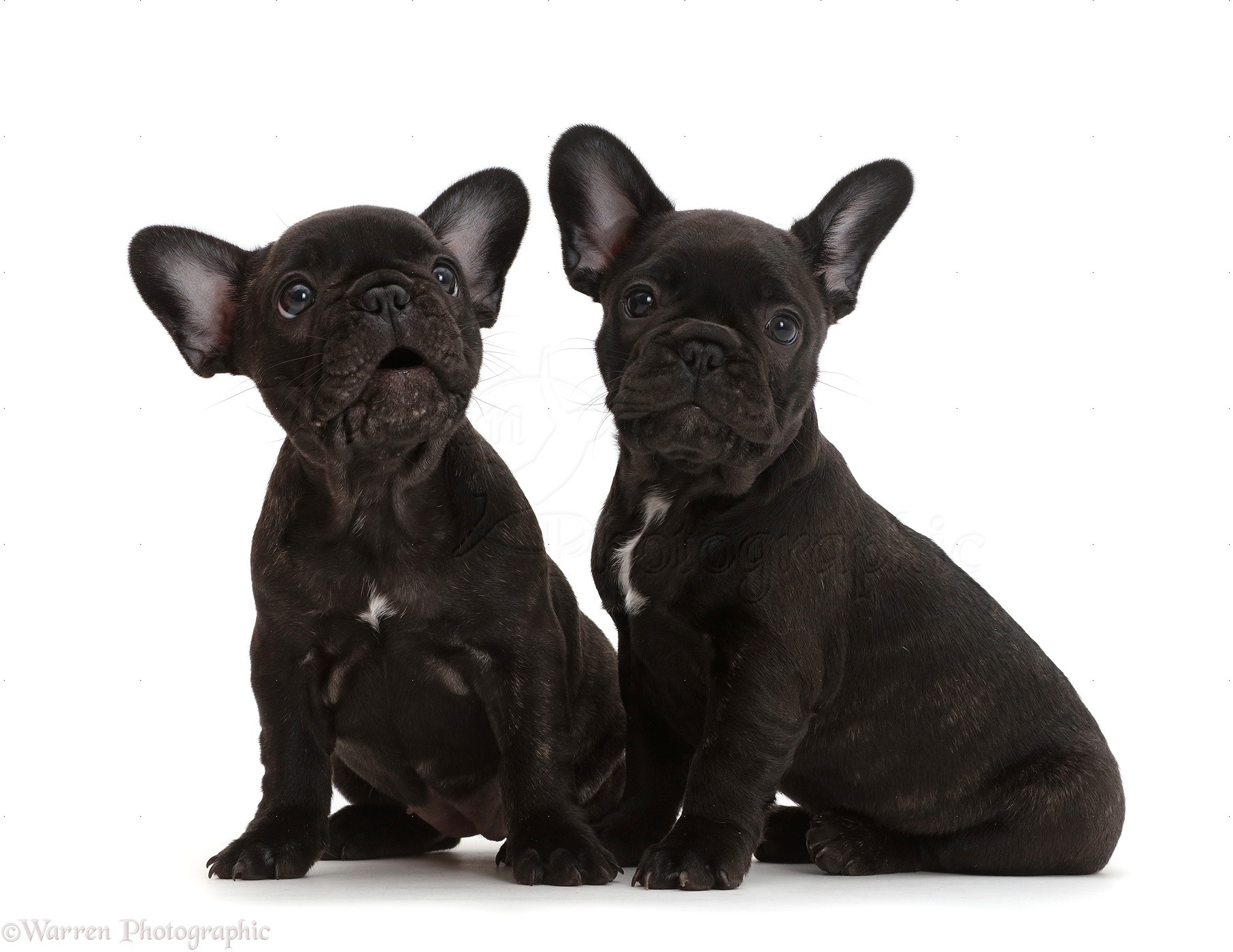 Two French Bulldog Puppies 7 Weeks Old Photo Wp43417