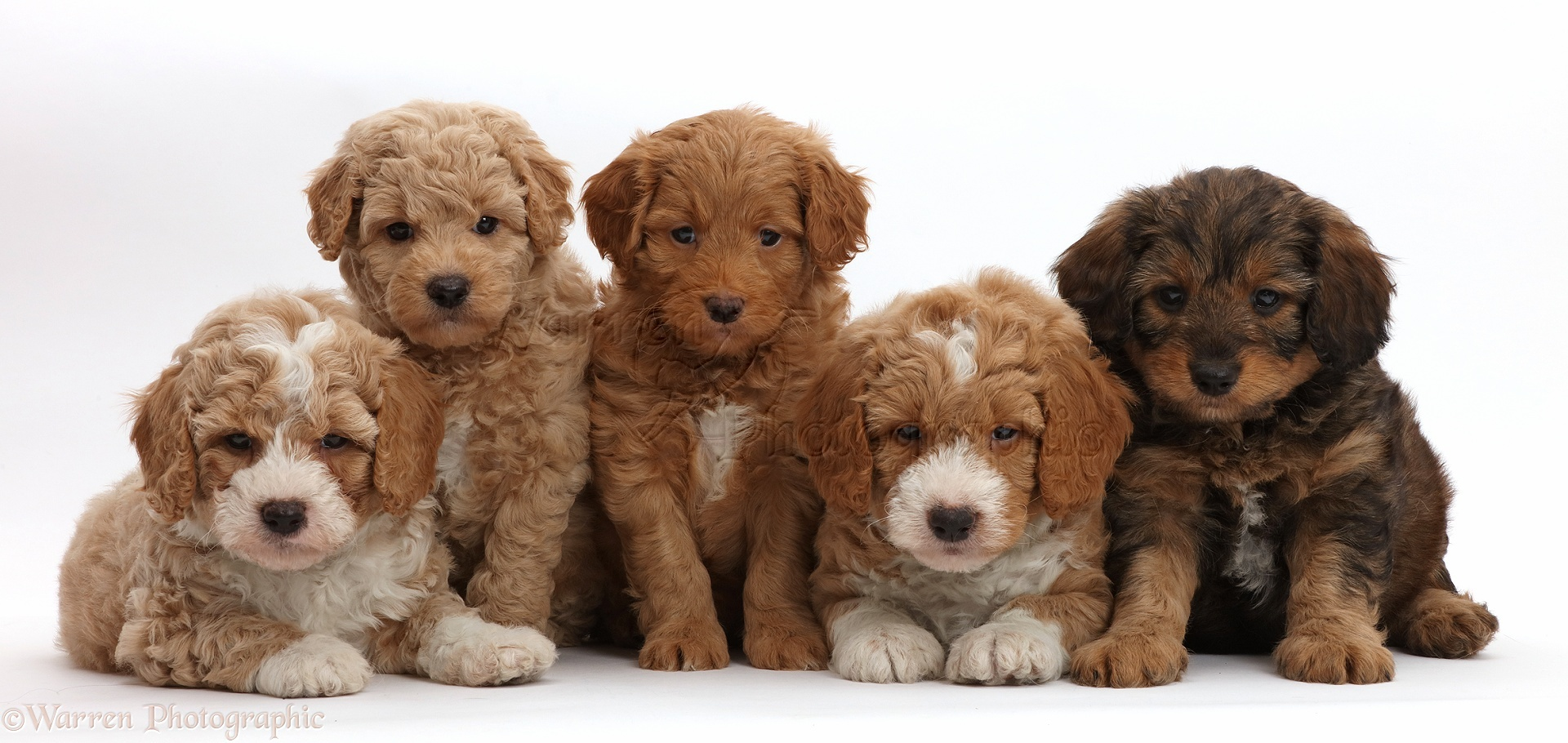 Dogs: Five F1b Toy Goldendoodle puppies, 7 weeks old photo