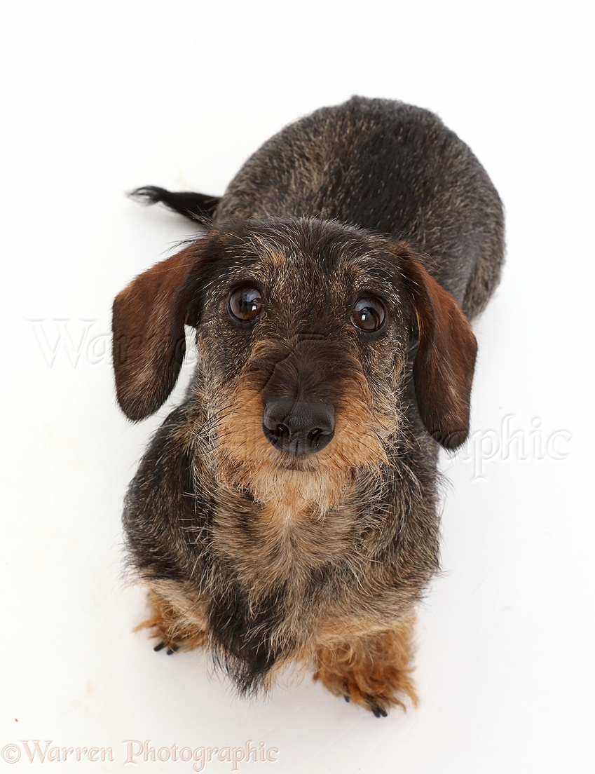 Dog: Wire haired Dachshund sitting and looking up photo - WP43465
