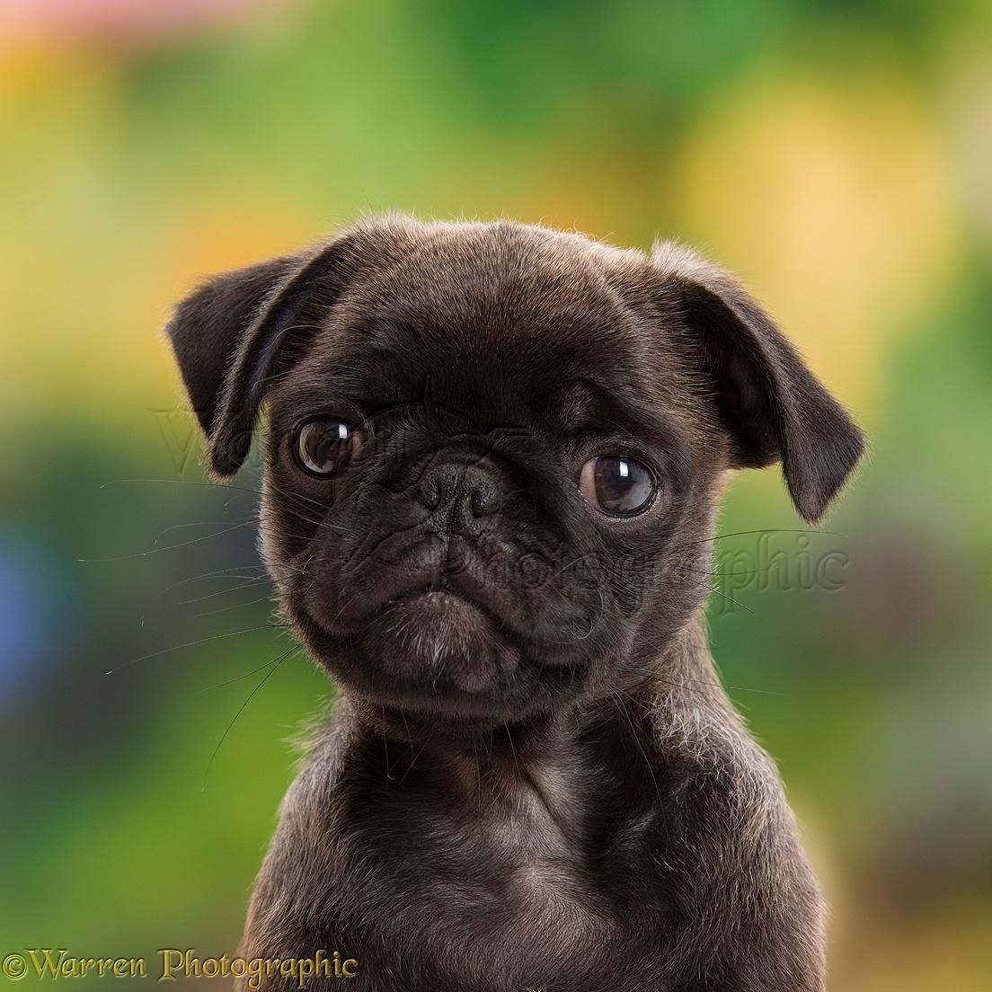 Dog Platinum Pug Puppy 10 Weeks Old Photo Wp43471