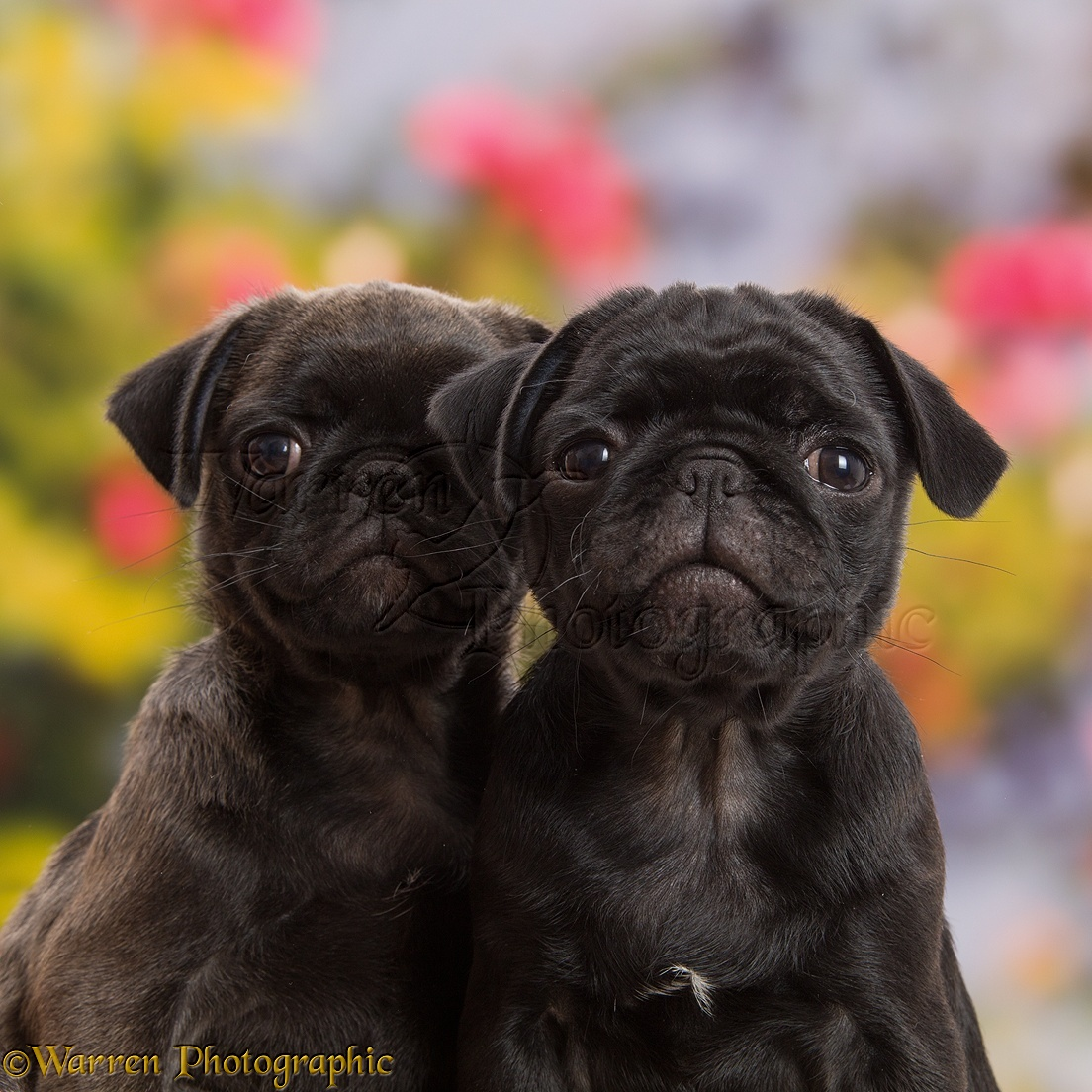 Platinum and Black Pug puppies 10 weeks old & Dogs: Platinum and Black Pug puppies 10 weeks old photo WP43473