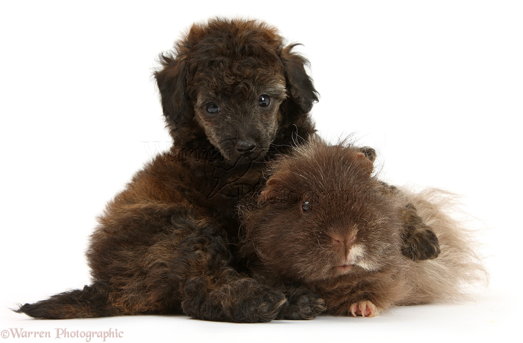 Pets: Red merle Toy Poodle pup and shaggy Guinea pig photo - WP43517