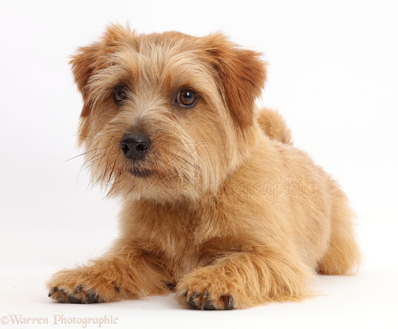 Border Terrier Dog Breeders Uk