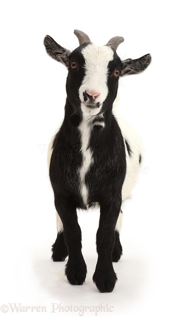 Pygmy goat standing photo WP43719 One Goat White Background