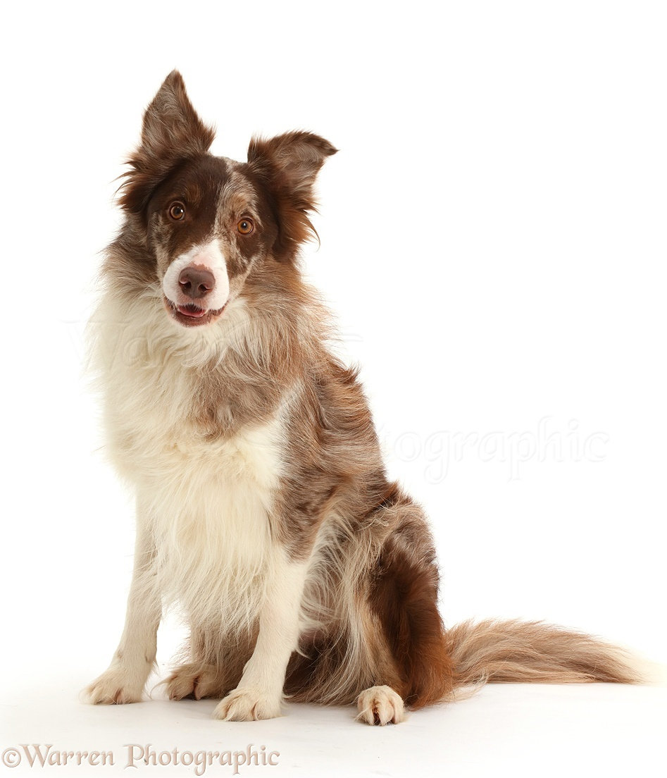 Chocolate and white border collie