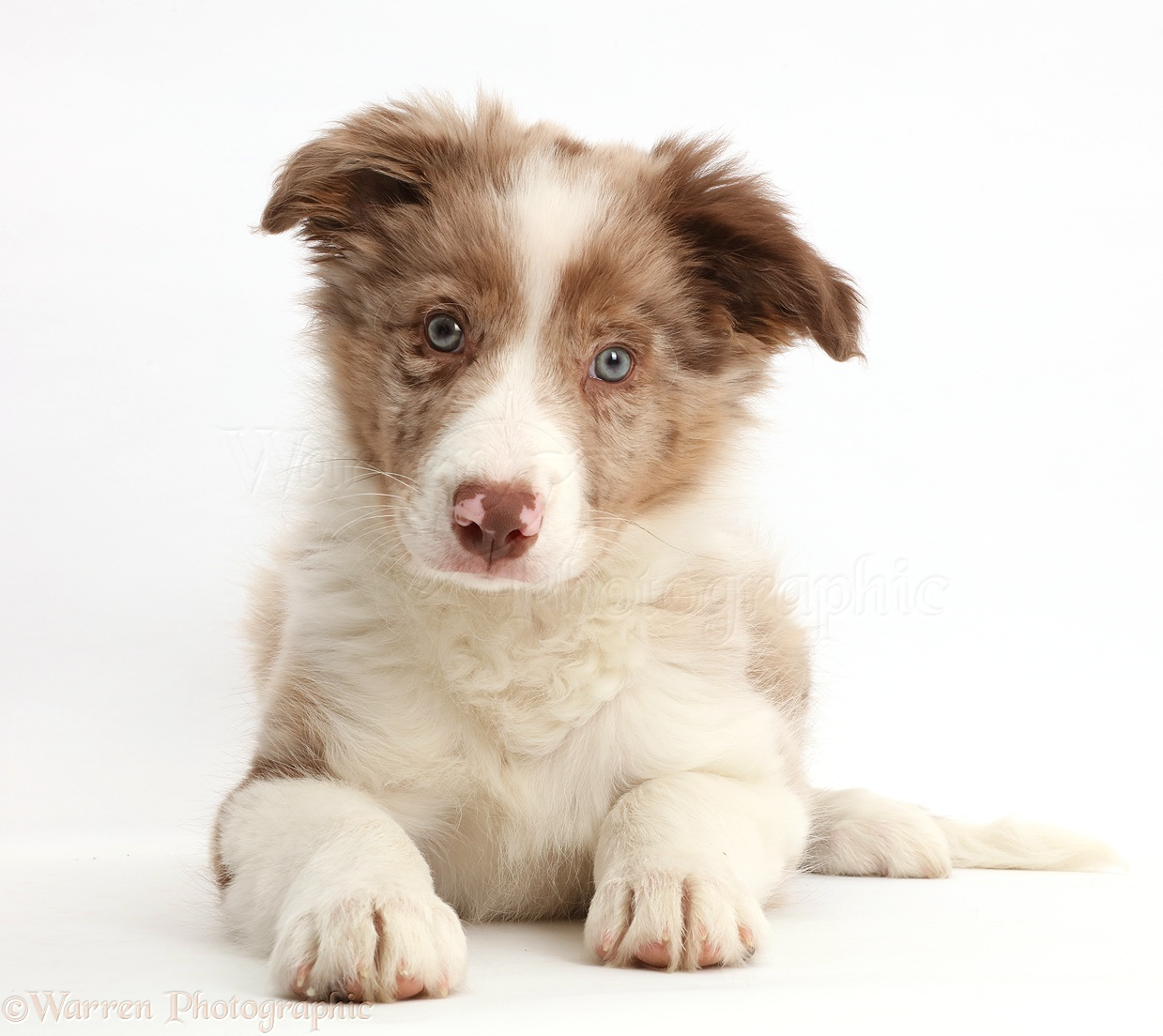 Dog Red Merle Border Collie Puppy Photo Wp44147