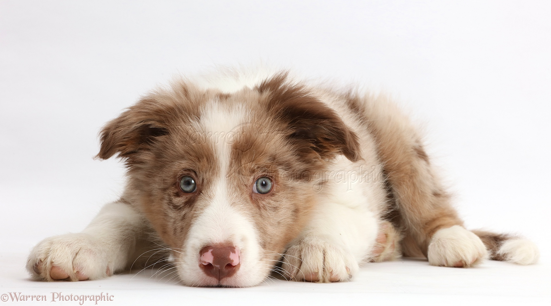 Dog Red Merle Border Collie Puppy Lying With Chin On The Floor