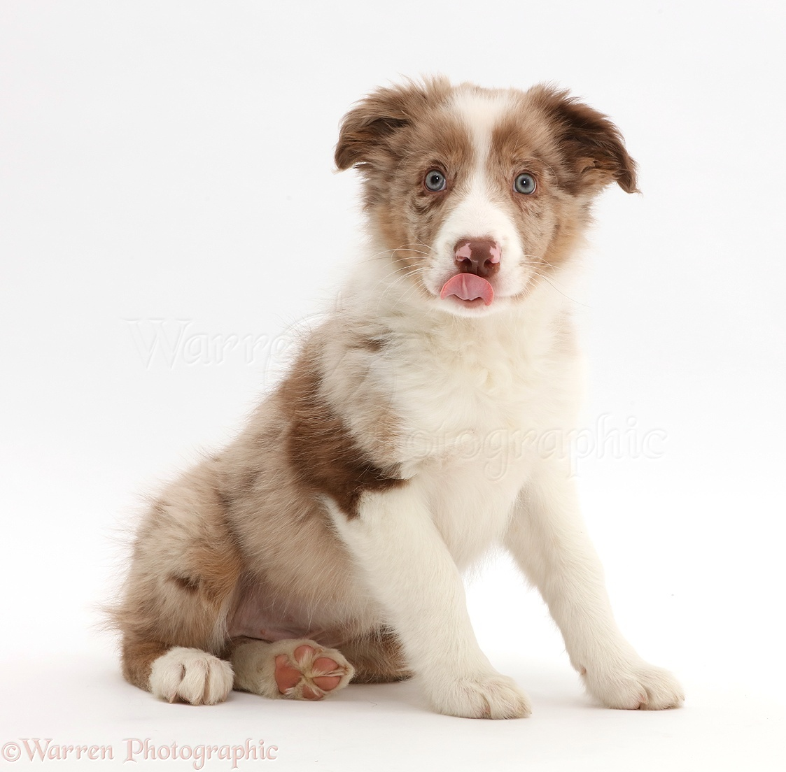 Dog Red Merle Border Collie Puppy Sitting Photo Wp44151