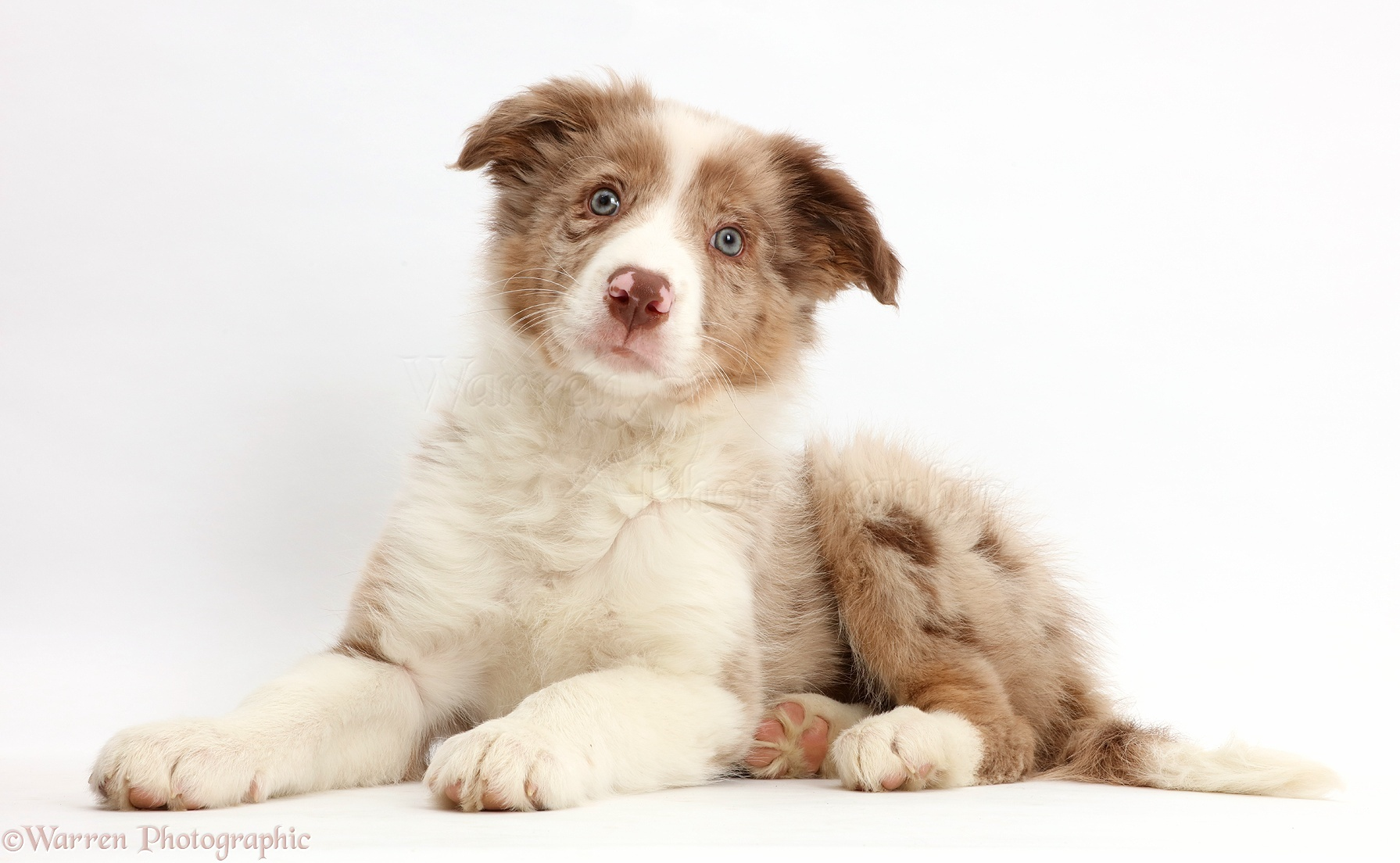 Dog Red Merle Border Collie Puppy Photo Wp44154
