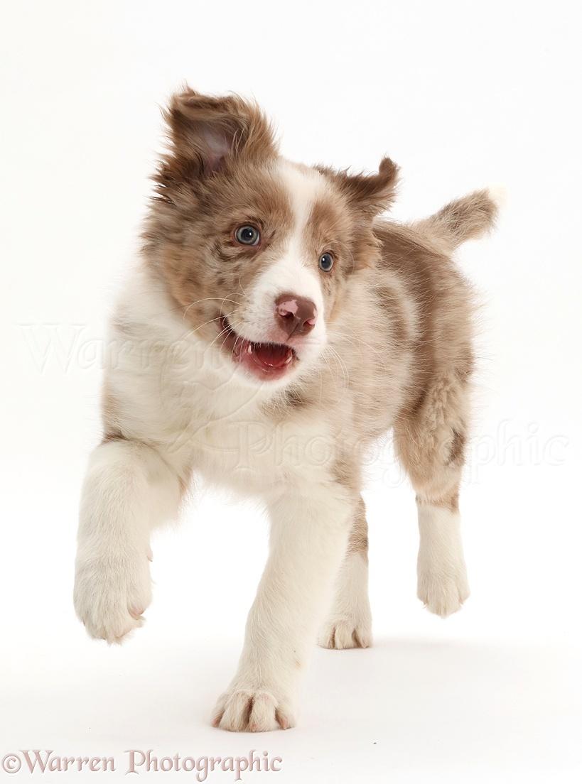 Dog Red Merle Border Collie Puppy Running Photo Wp44155
