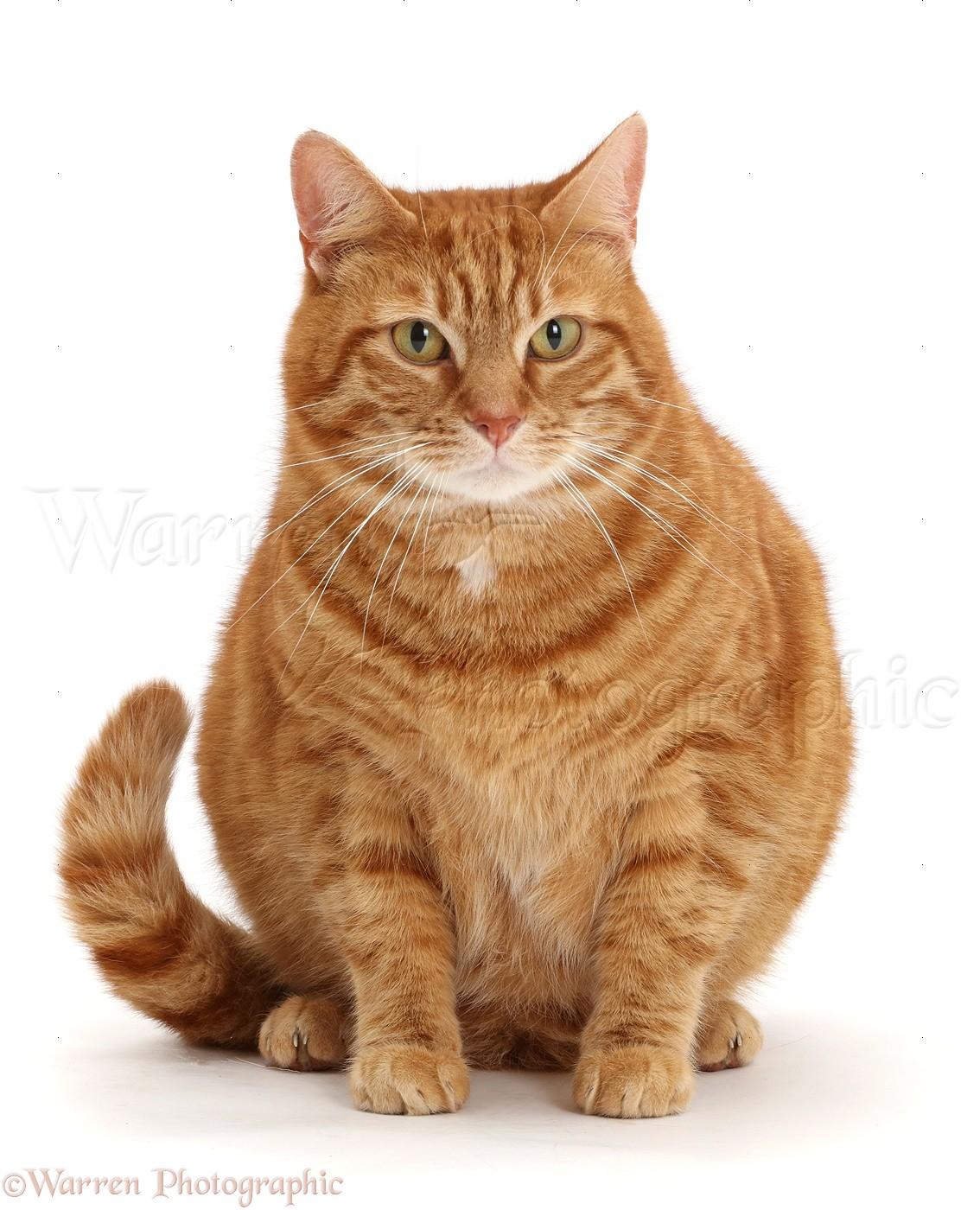 Orange And White Cat Fat