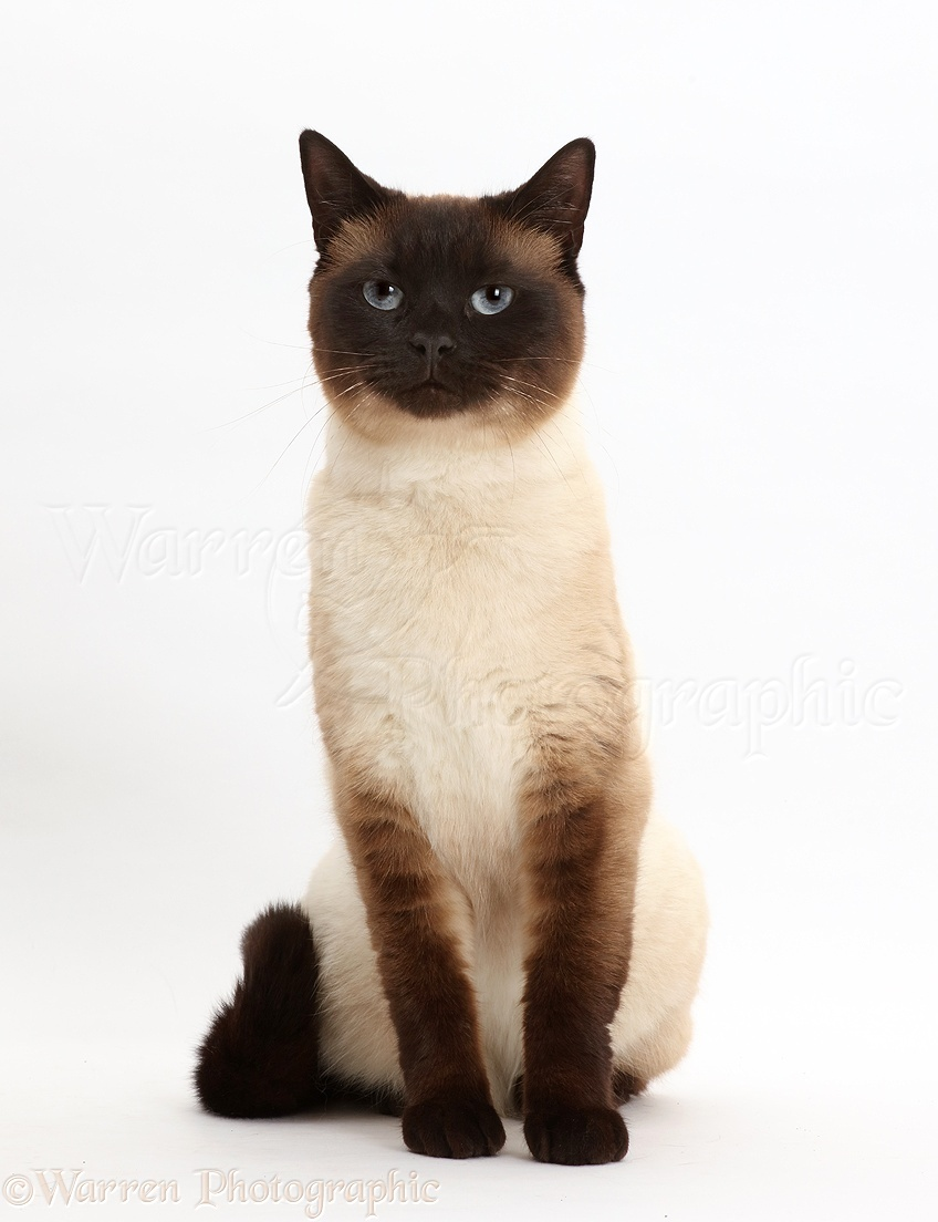 Pictures Of Chocolate Point Siamese Cats