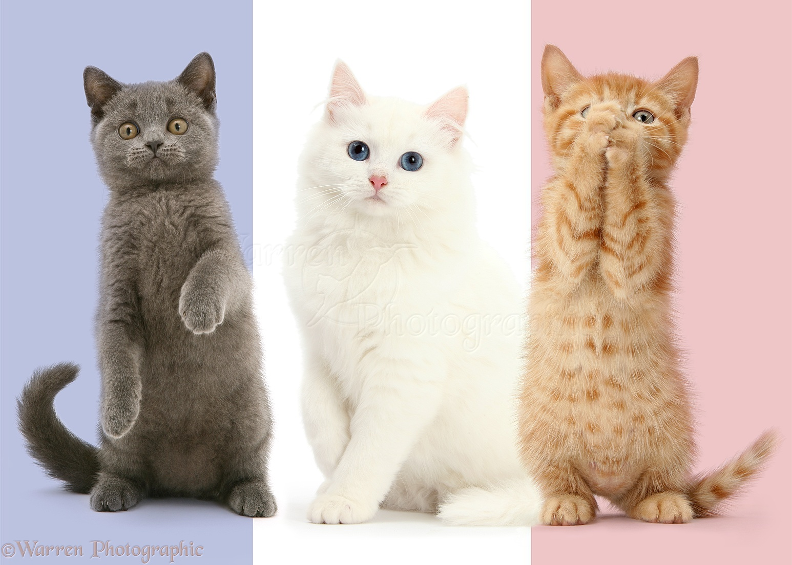 Tricolour French flag cats photo WP44525