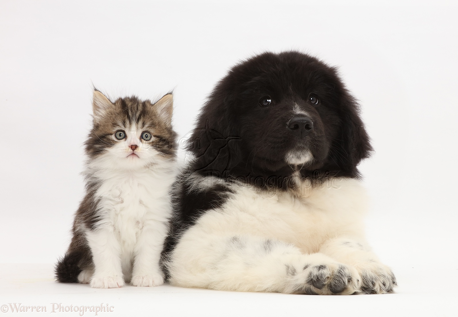 Pets Kitten Sitting With Newfoundland Puppy Photo Wp44634