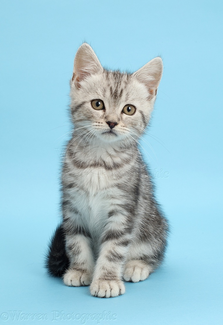 Helpful Tips for Getting Your Cat in a Carrier - Purrfect Care   White Cats Blue Background