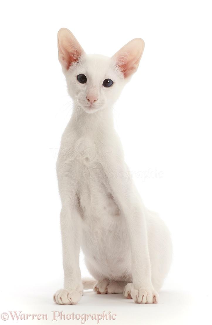 Hypoallergenic Cat Breeds - Hypoallergenic Cats]