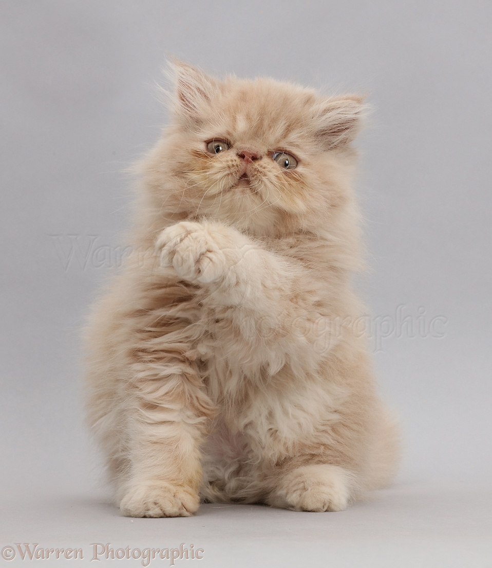 persian kitten sitting up with raised paws on grey