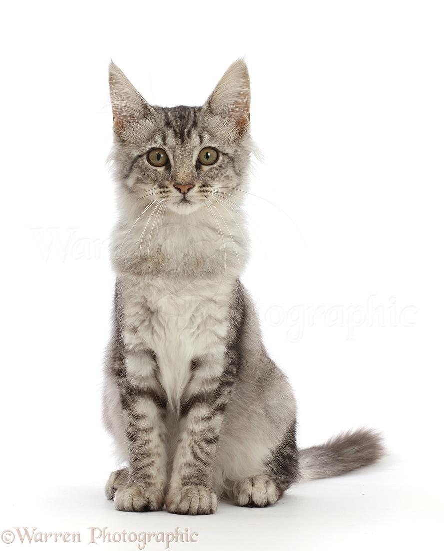 Mackerel Tabby Cat Pictures