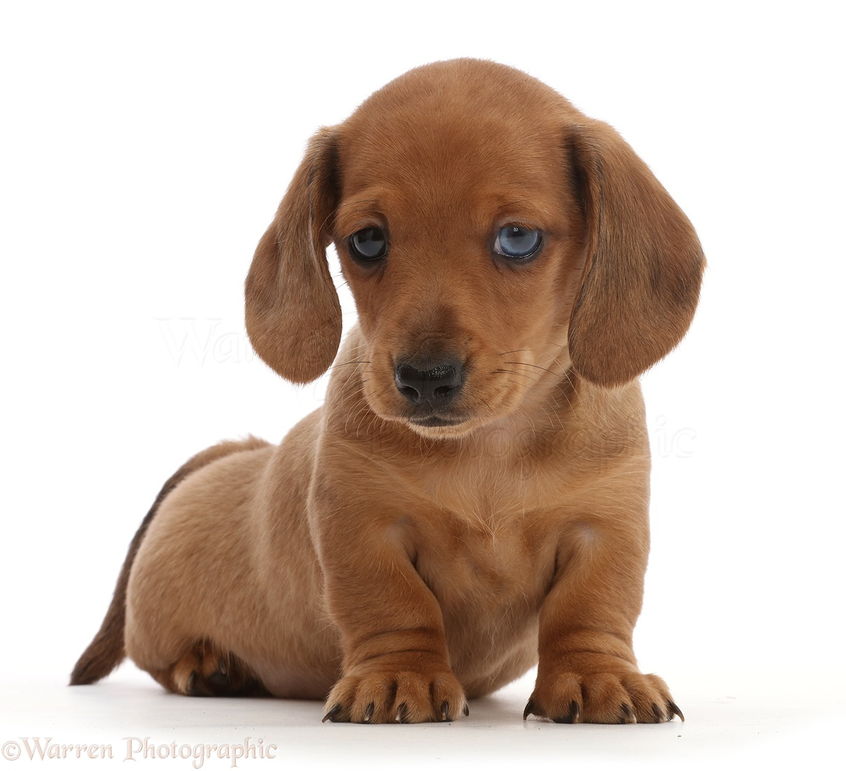 Dog: Red Dachshund puppy photo WP45010
