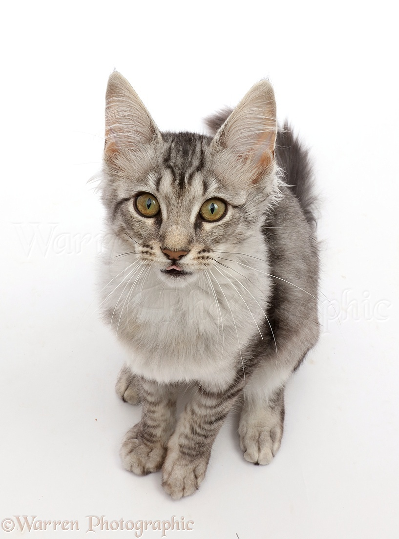 Mackerel Silver Tabby cat, sitting and looking up photo ... Tabby Cat Sitting Up