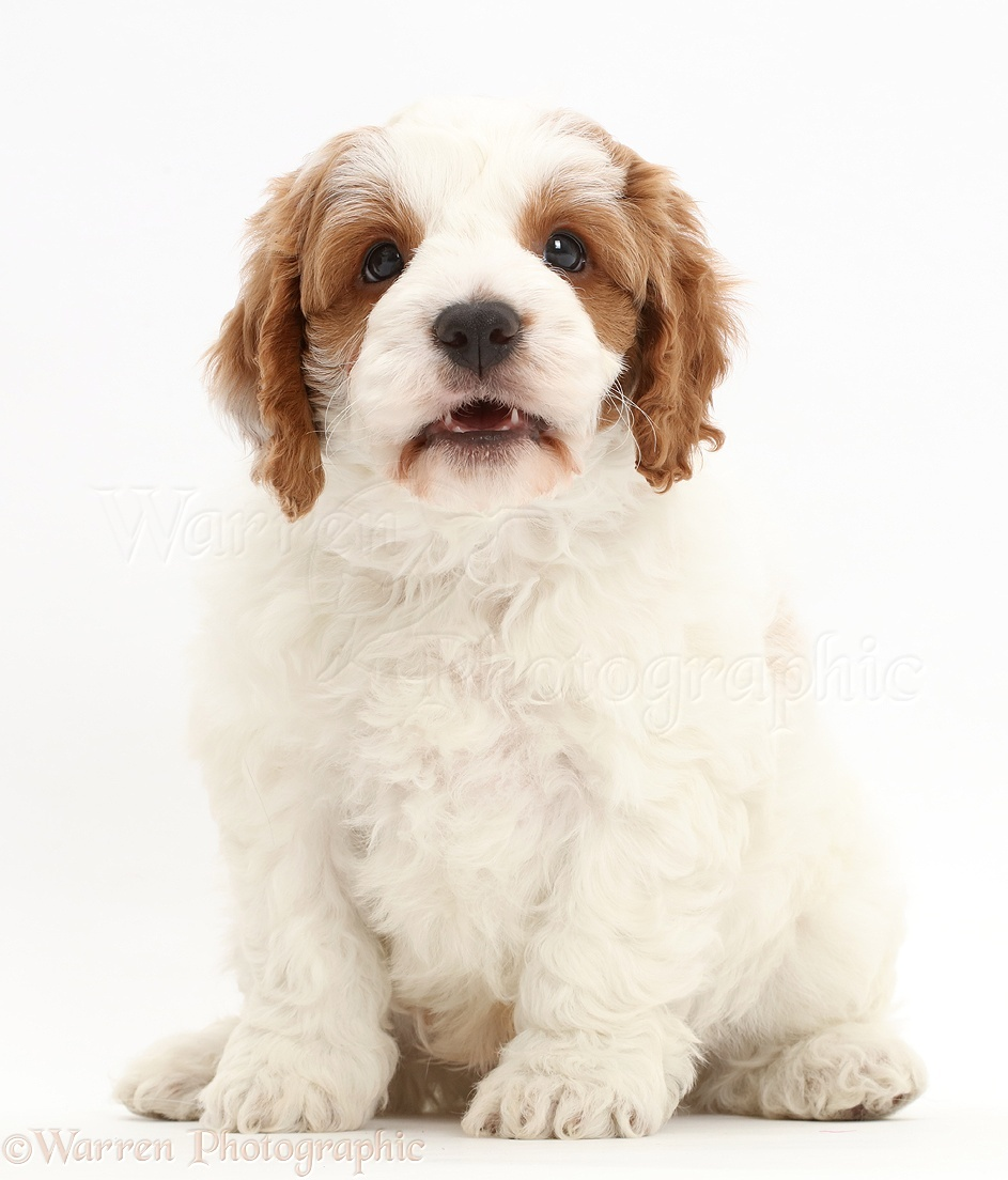 Dog Red And White Cavapoo Puppy Photo Wp45111