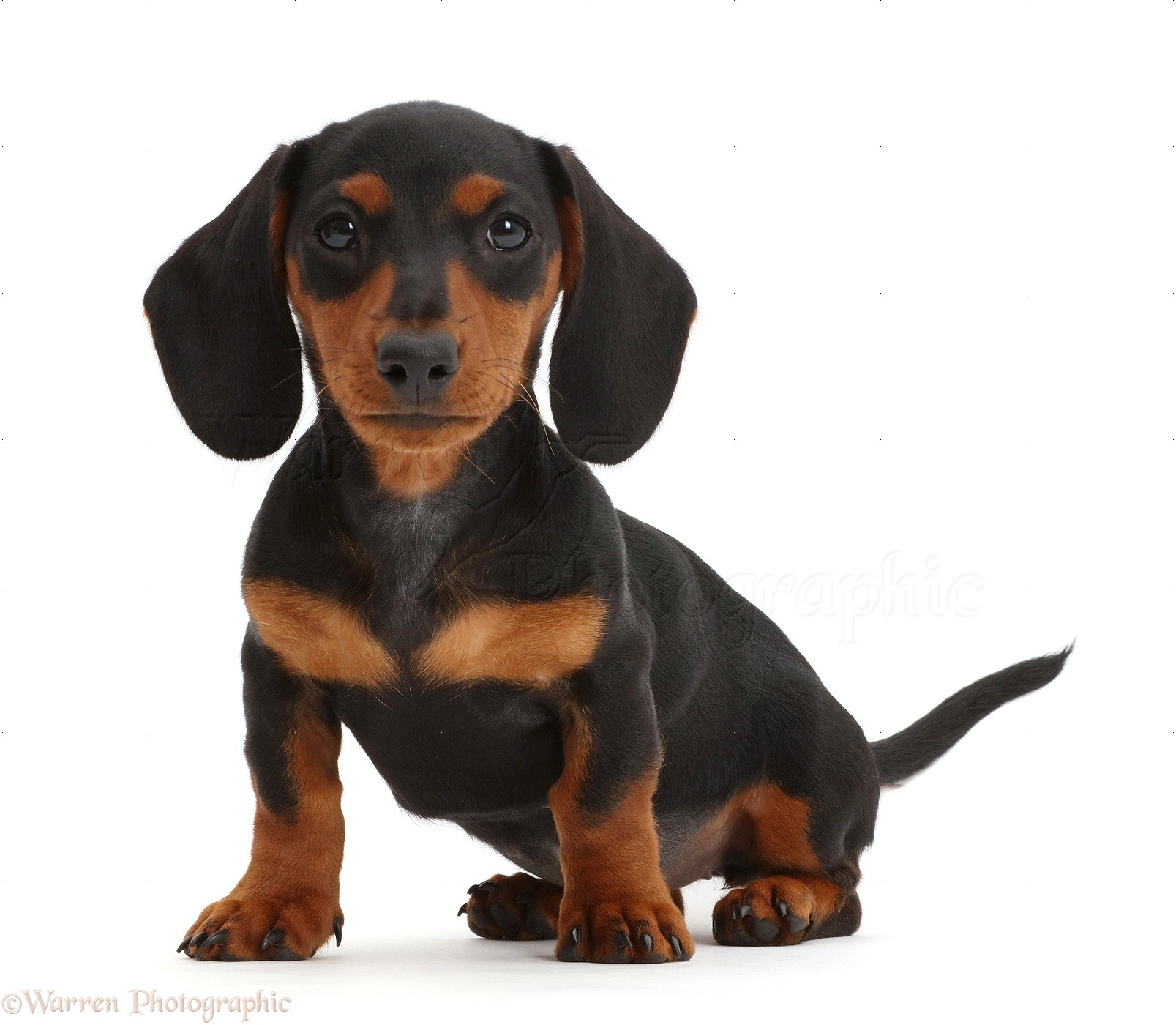 Breeds Of Black And Tan Dogs