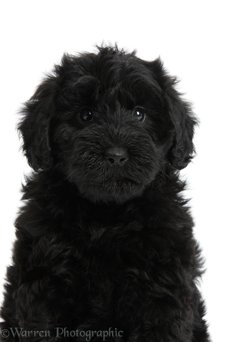 Dog Cute Black Toy Goldendoodle Puppy Photo Wp45137