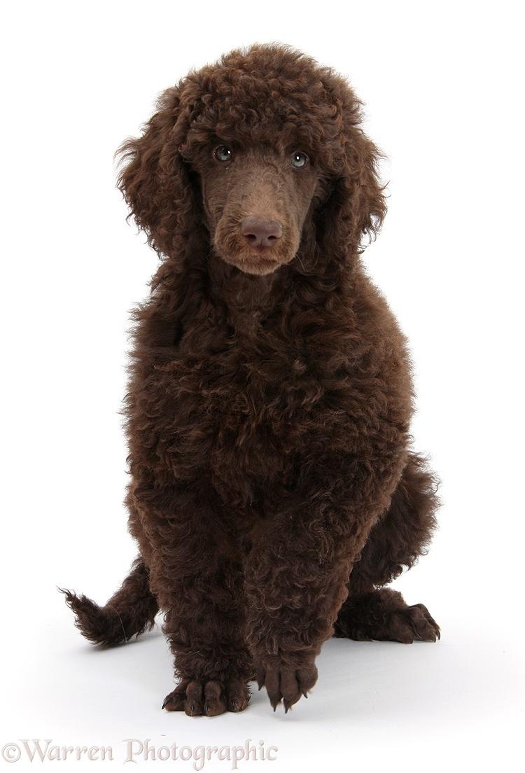Dog Chocolate Standard Poodle Pup Photo Wp45167