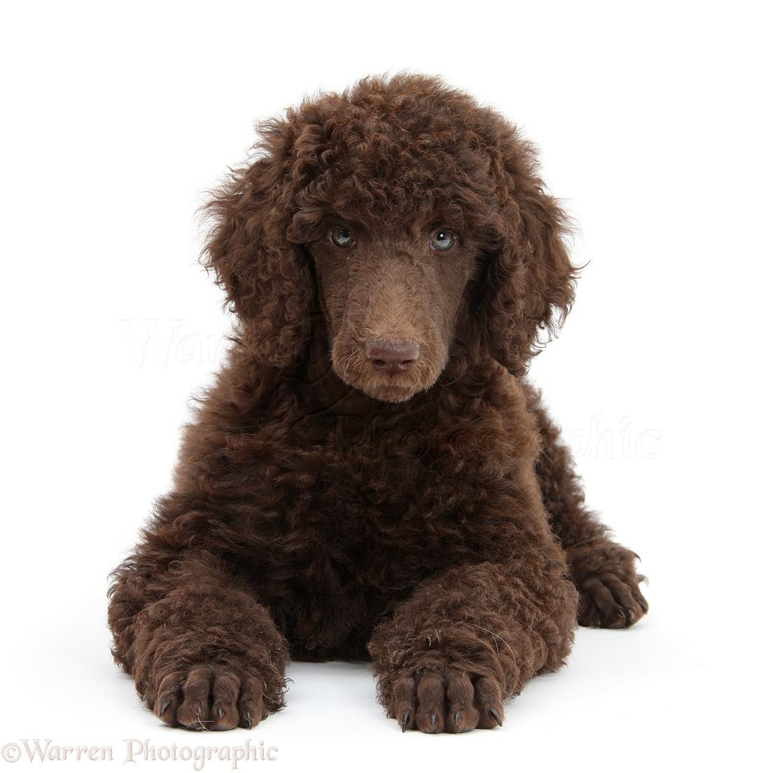 Dog Chocolate Standard Poodle Pup Photo Wp45168