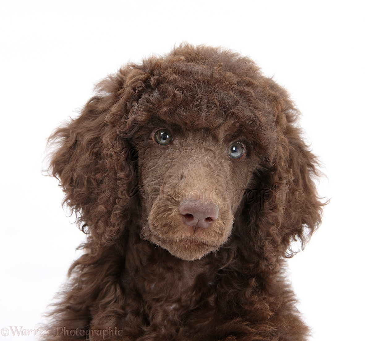 Dog Chocolate Standard Poodle Pup Photo Wp45169