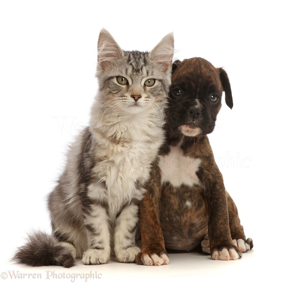 pets silver tabby kitten and boxer puppy photo wp45283