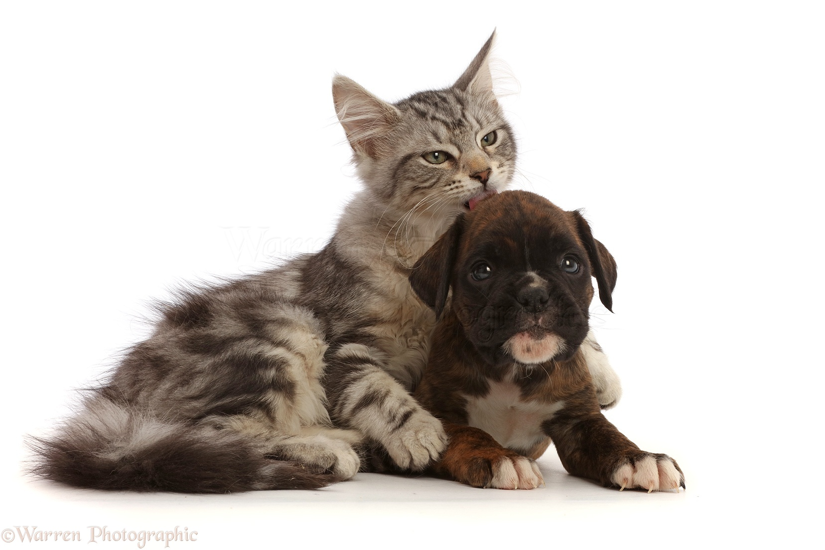 pets silver tabby kitten and boxer puppy photo wp45284