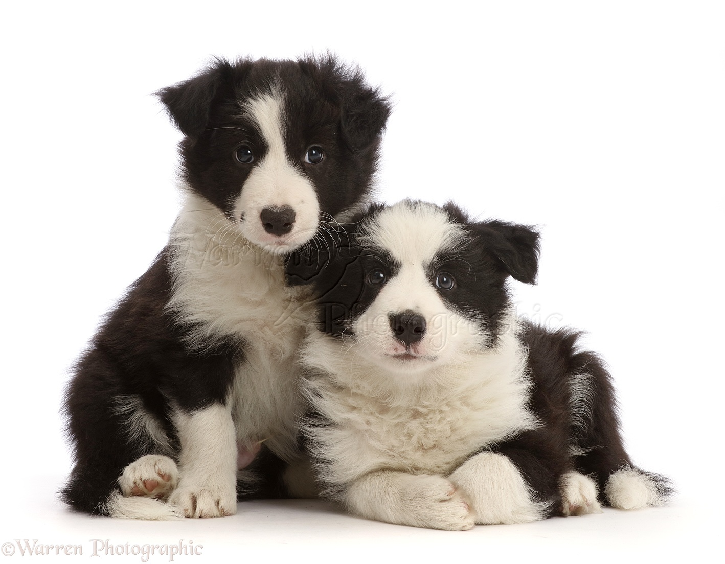 Wp45315 two black and white border collie puppies 7 weeks old