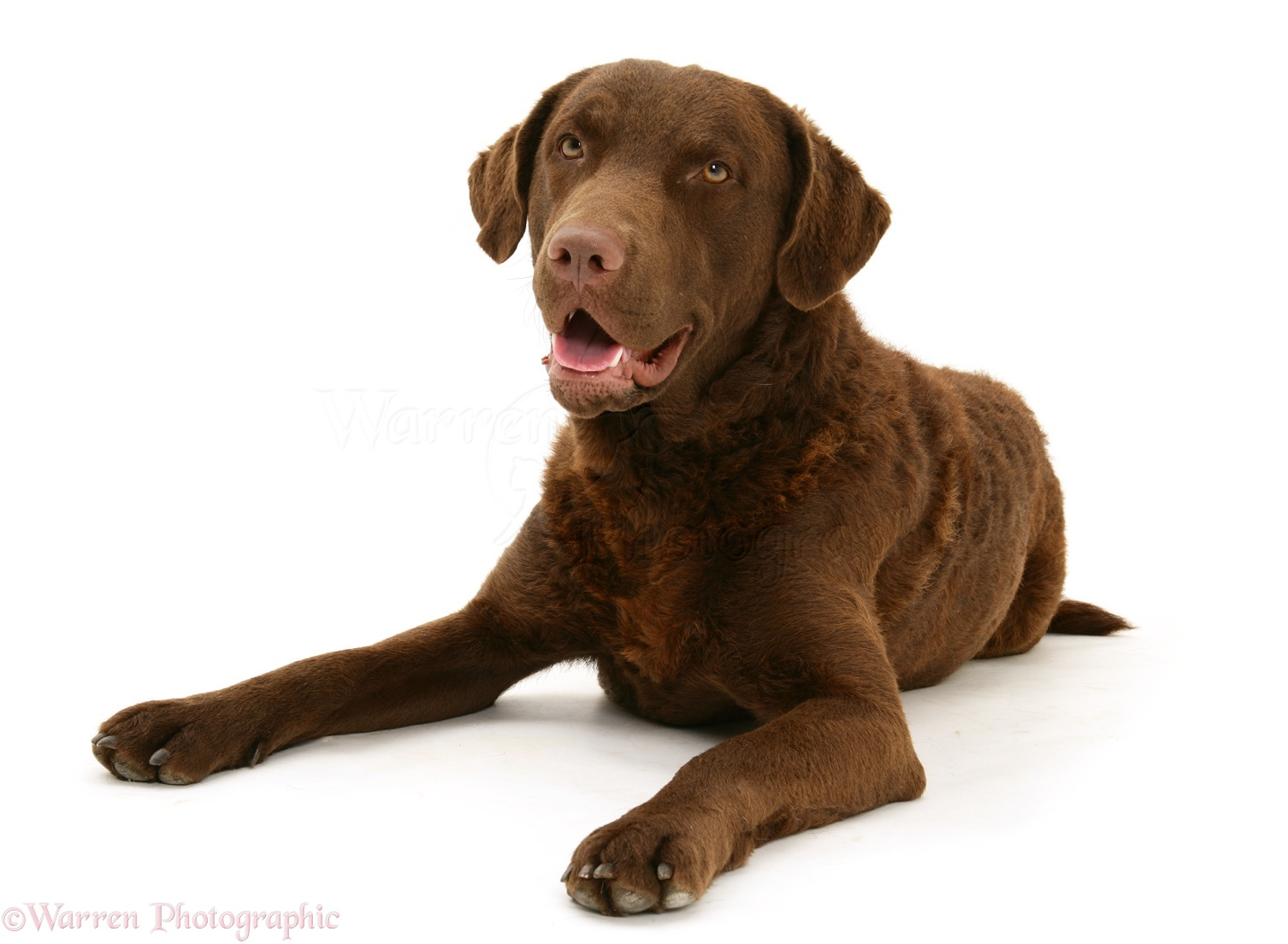 Pictures Of A Chesapeake Dog