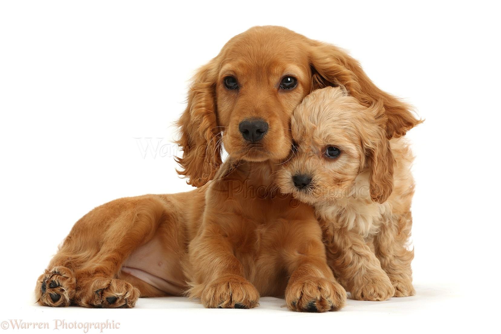 Dogs: Cocker Spaniel p...