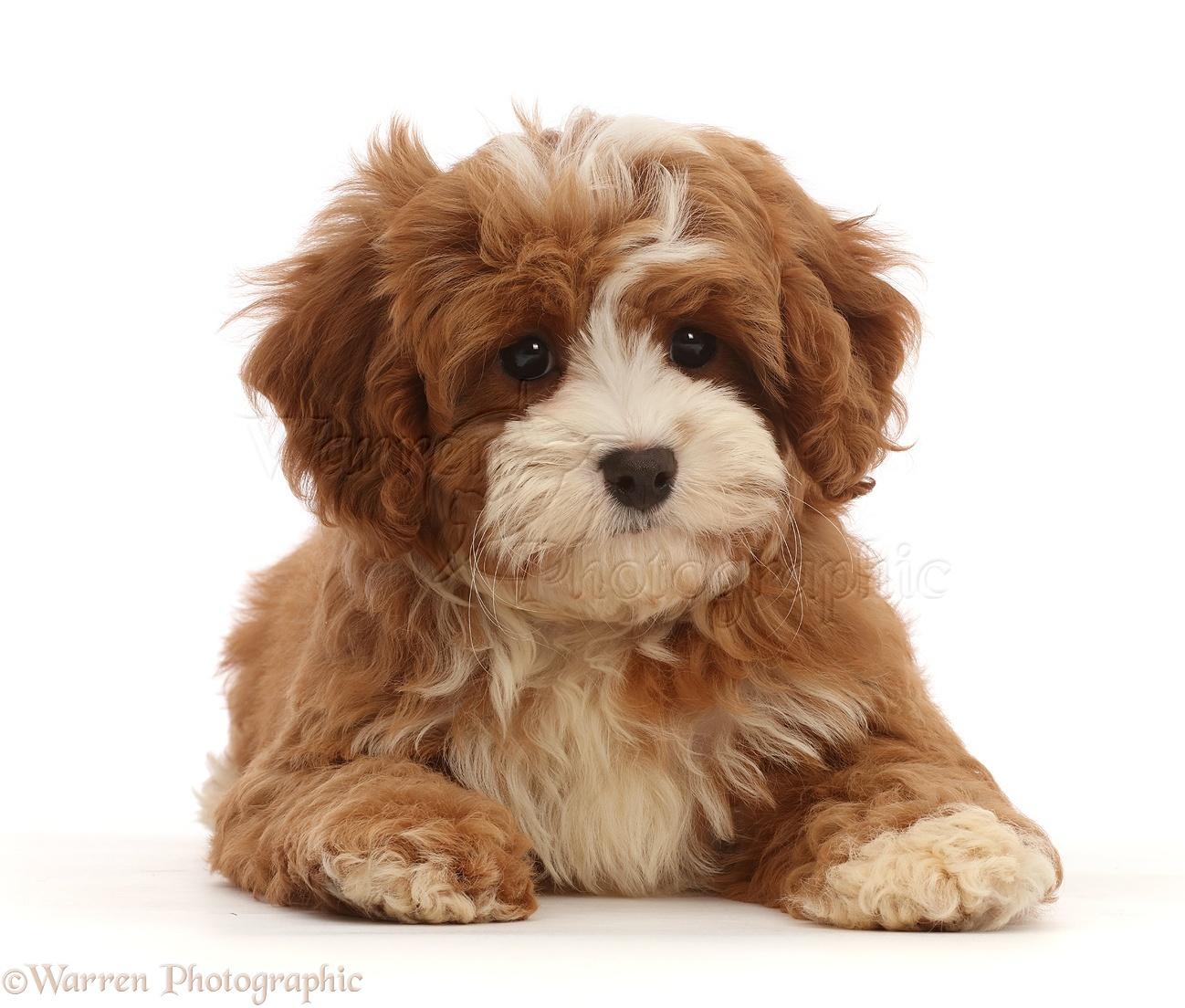 Dog Cavapoo Puppy Lying Head Up Photo Wp45800
