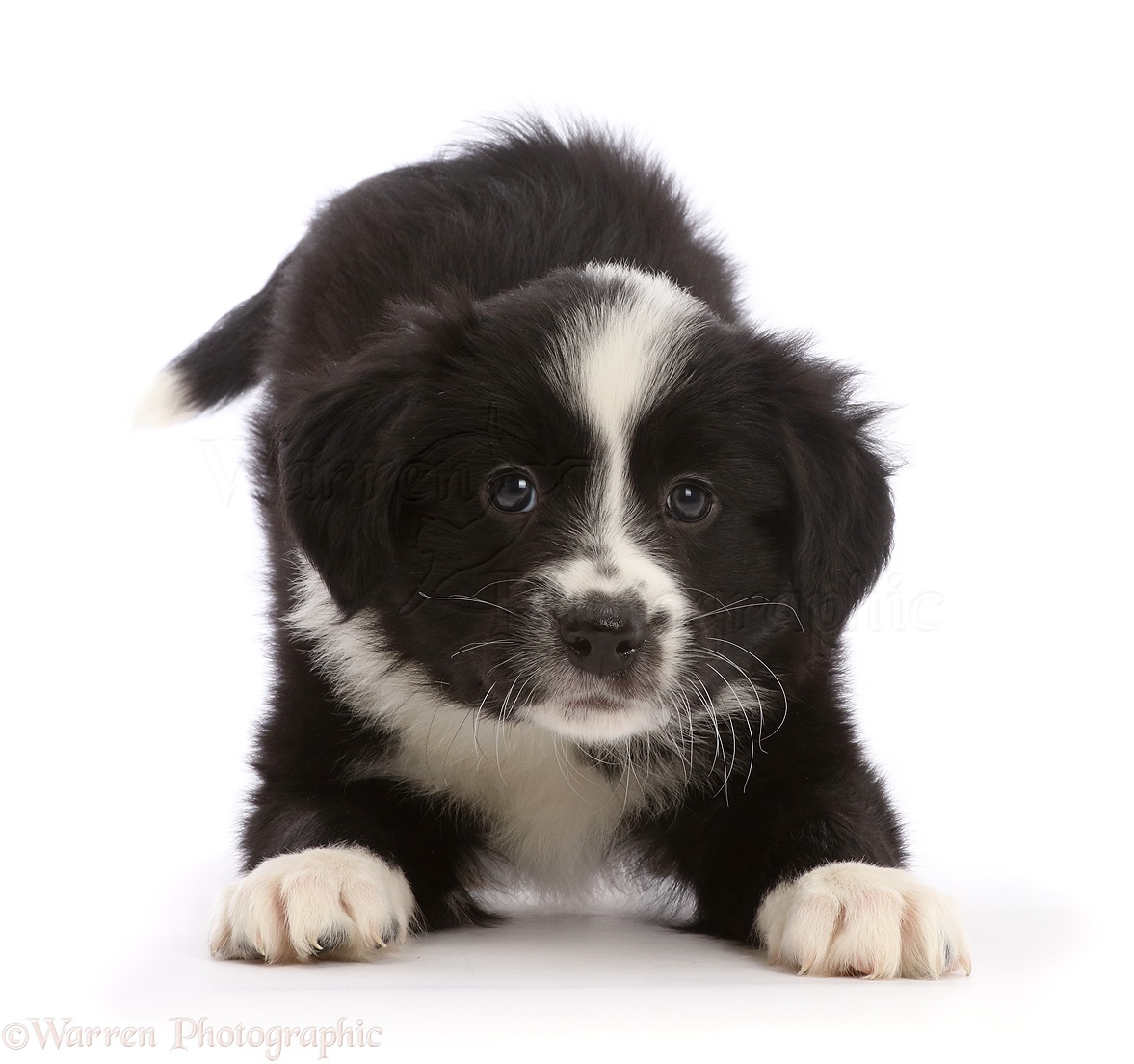 dog black and white border collie puppy in play bow photo wp45801