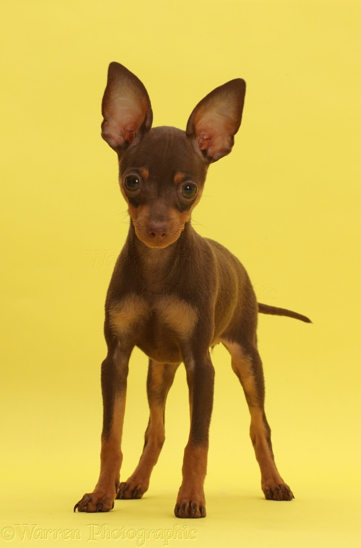 Dog Brown And Tan Miniature Pinscher Puppy Standing On Yellow