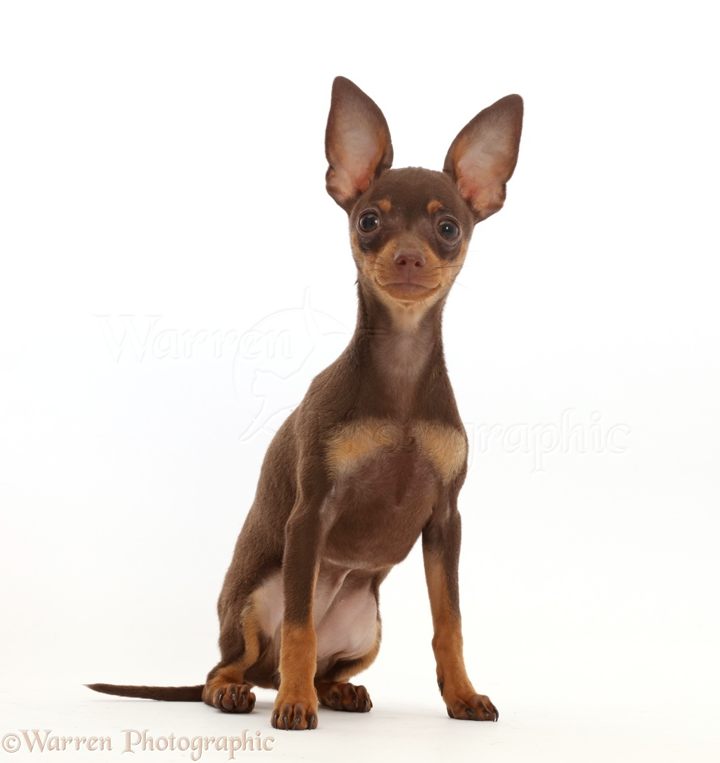 Dog Brown And Tan Miniature Pinscher Puppy Sitting Photo Wp45841