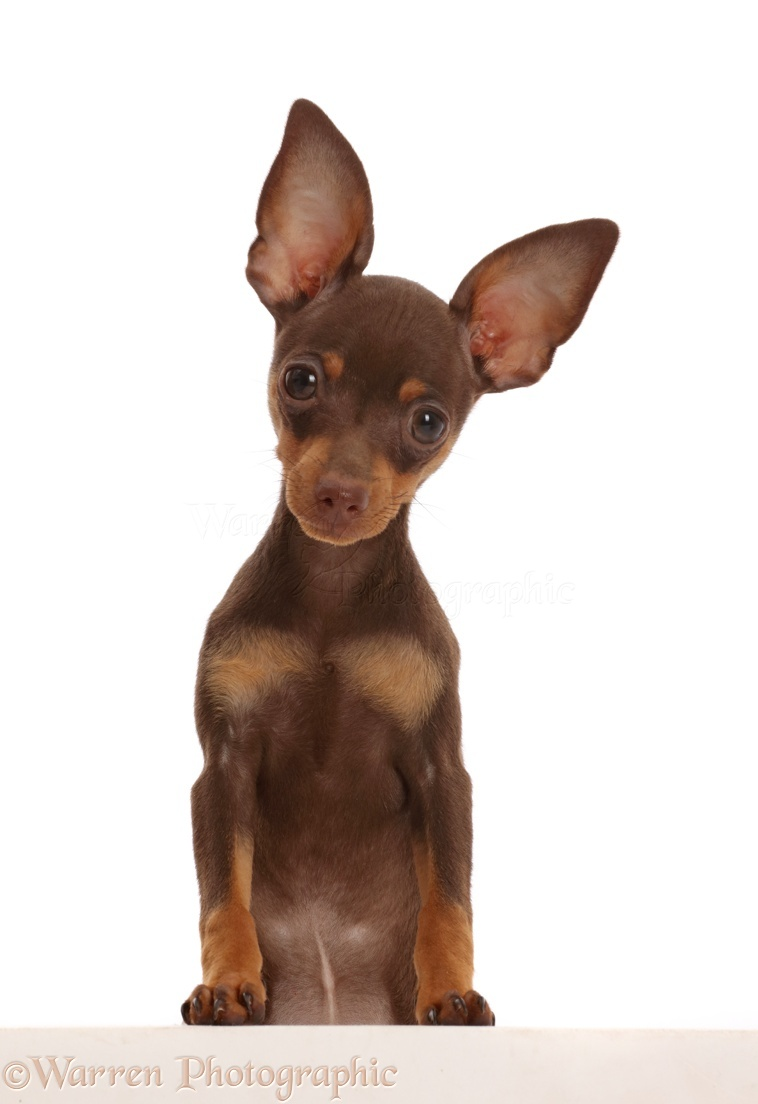 Dog Brown And Tan Miniature Pinscher Puppy Paws Over Photo Wp45844