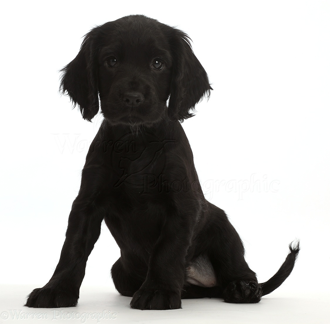 Dog Black Cocker Spaniel Puppy Photo Wp45902