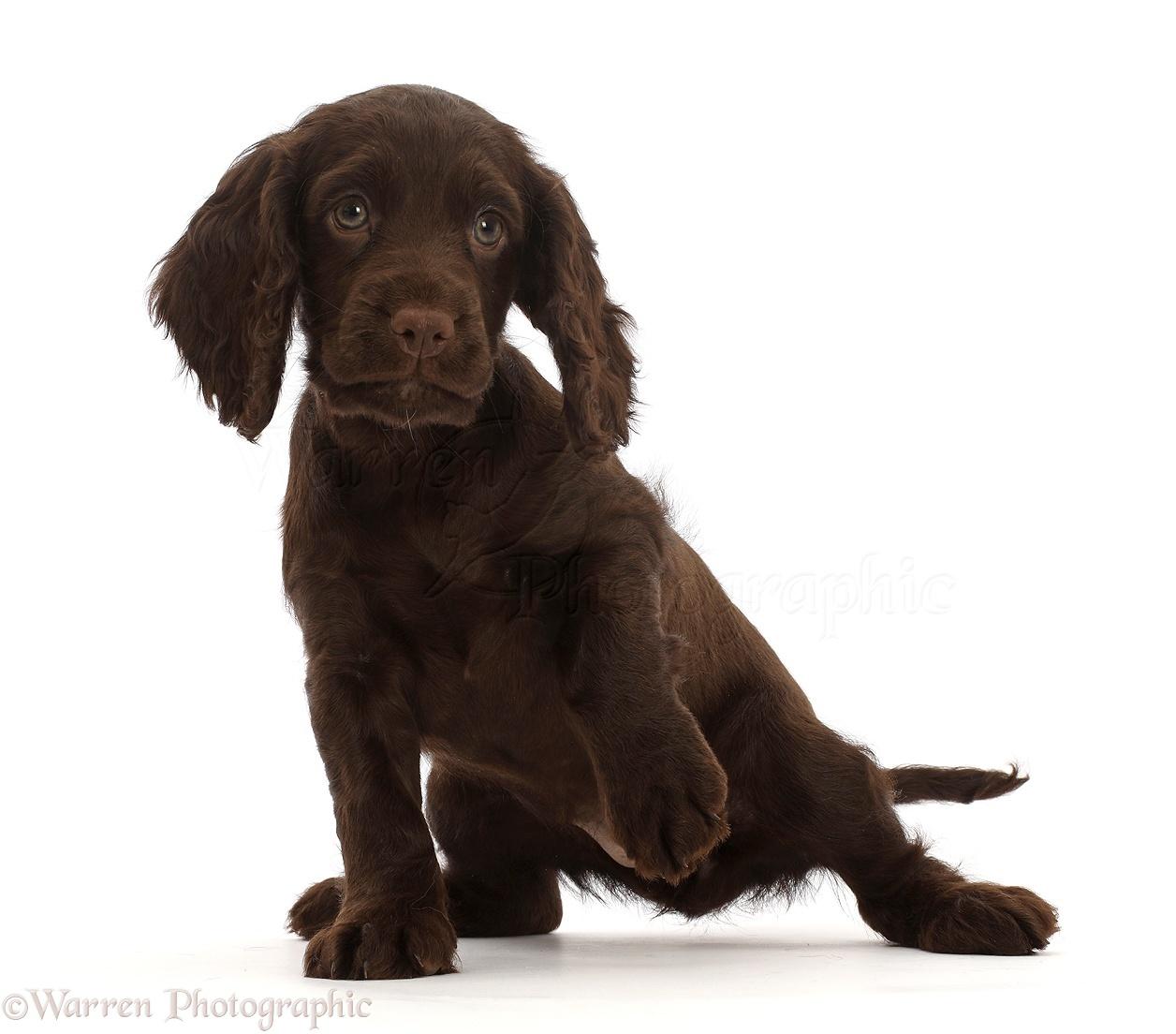 Dog Chocolate Cocker Spaniel Puppy Photo Wp45920