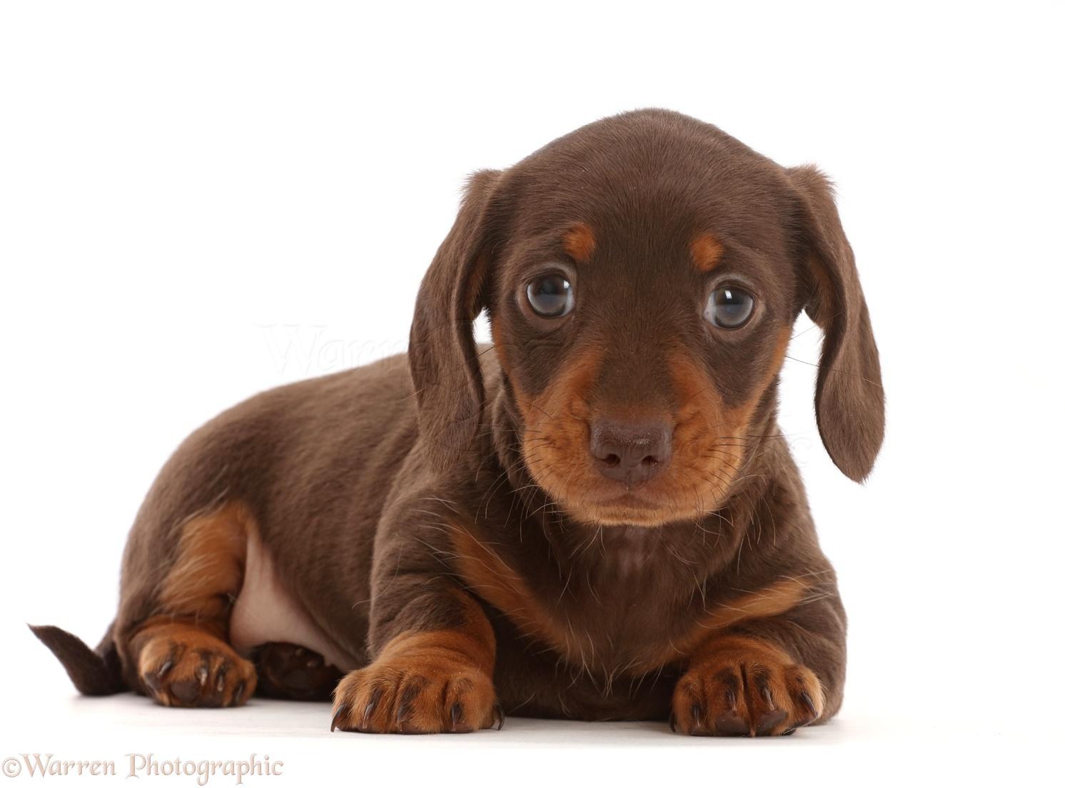 Dog Chocolate Dachshund Puppy Photo Wp46020