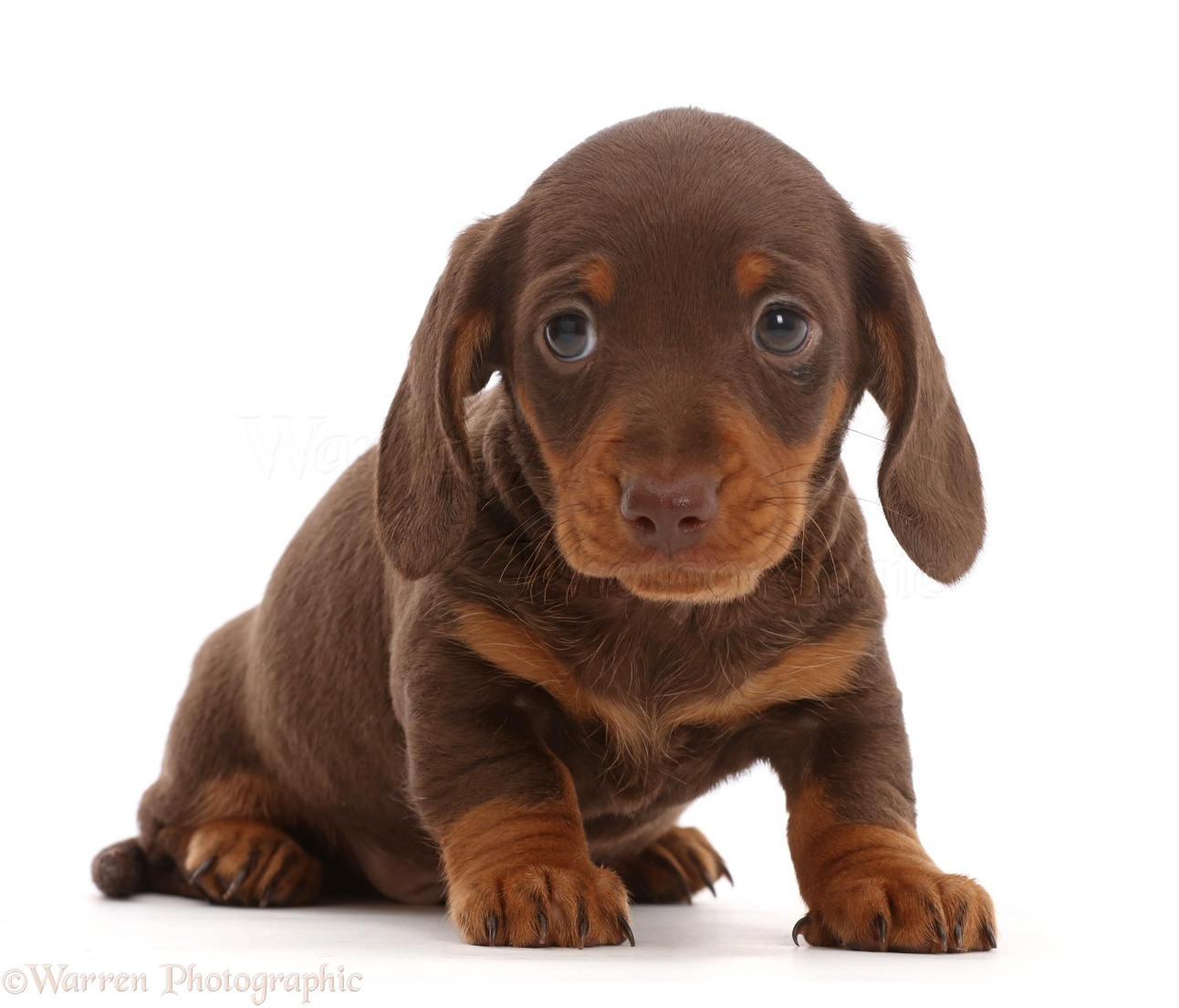 Dog Chocolate Dachshund Puppy Photo Wp46022