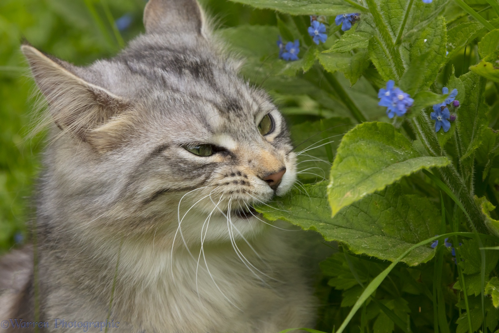 Silver tabby cat eating leaves photo WP46076