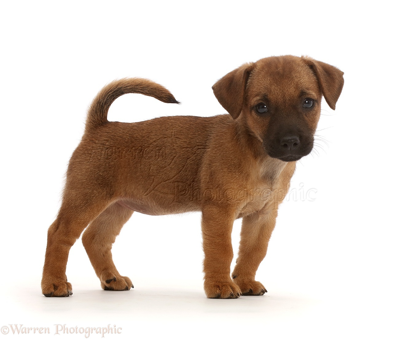 Dog: Brown Jack Russell x Border Terrier puppy standing ...