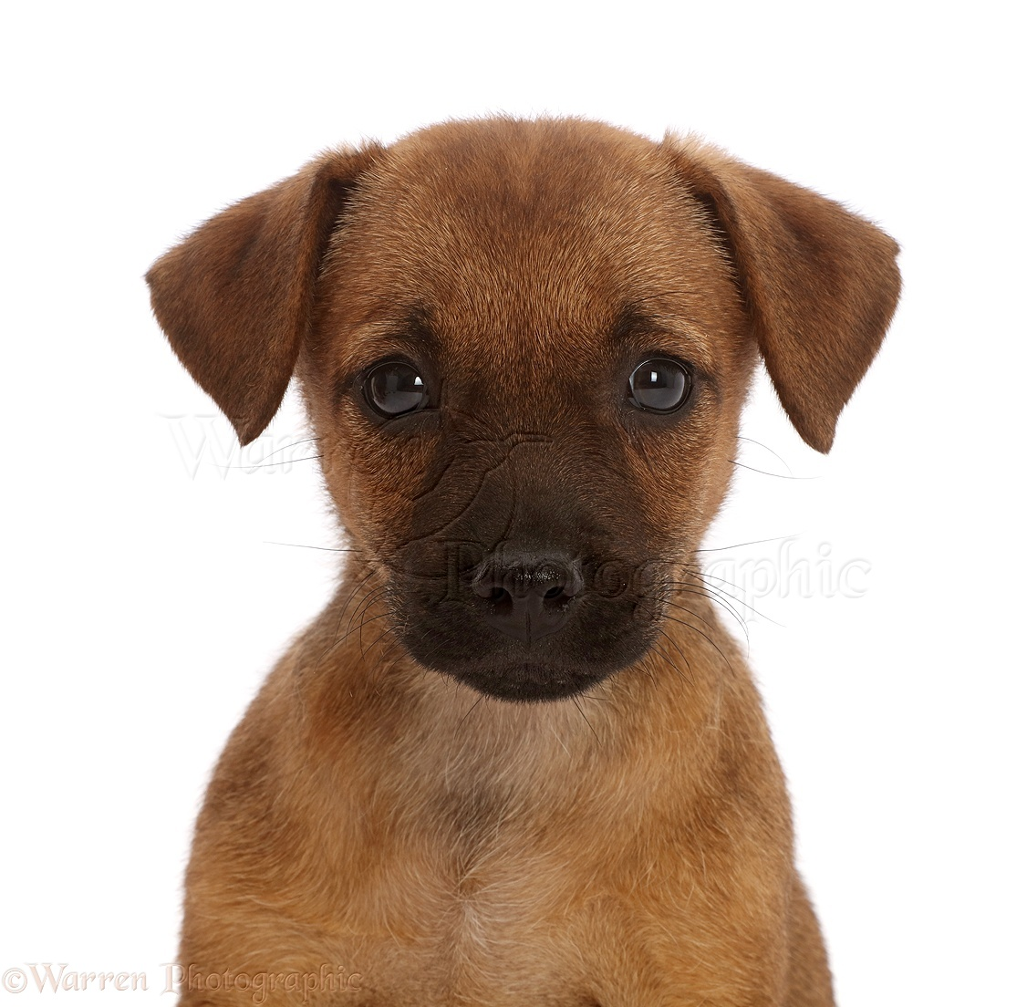 Dog: Brown Jack Russell x Border Terrier puppy photo WP46410