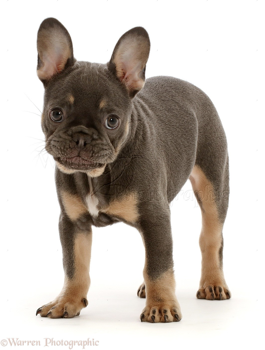 Blue And Tan French Bulldog Puppy Standing Photo Wp46814